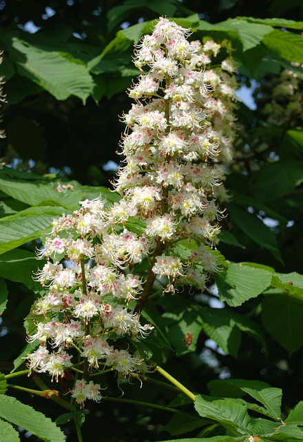 Wildflower, Horse Chestnut, Tree, Conker, Floral, Plant