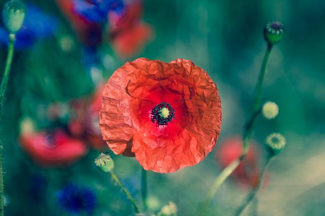 Flower, Flora, Nature, Poppy, Summer, Garden, Floral