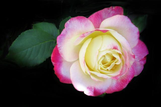 Flower, Rose, Petal, Floral, Flora