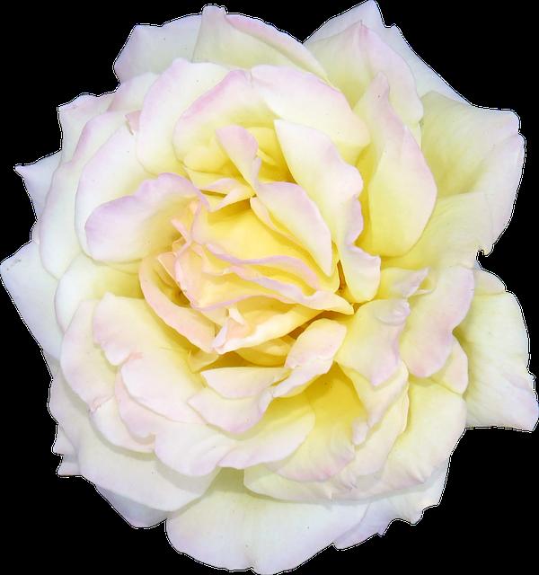Flower, Rose, White, Valentine, Floral, Romance