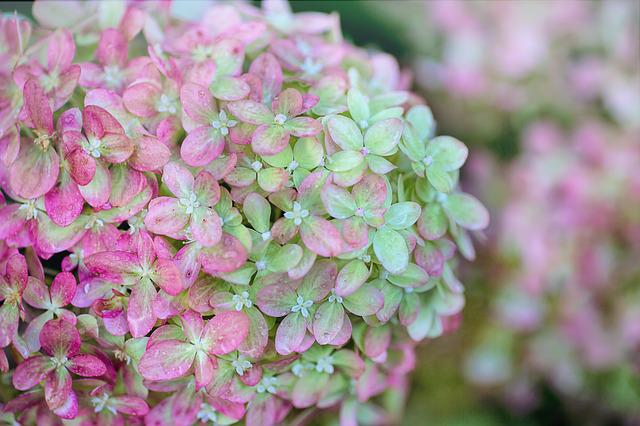 Hydrangeas, Pink, Green, Floral, Nature, Summer, Garden
