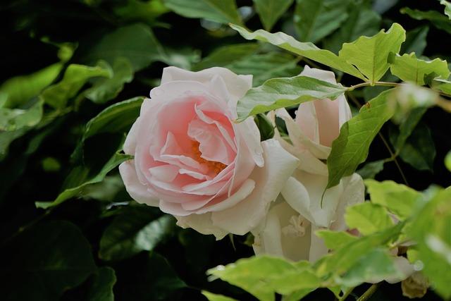 Blanche Rose, Fleur, Flore, La Nature, Green Rose