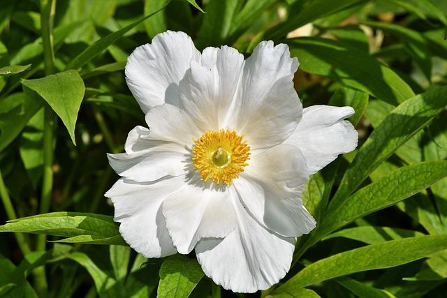 Anemone, Florets, Blossom, Bloom, Spring Flower, Bloom