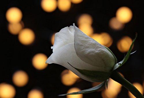 Rose, Bokeh, White Rose, Nature, Floribunda
