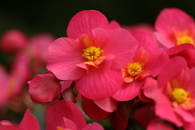 Begonia, Flowers, Red, Yellow, Flora, Floriculture