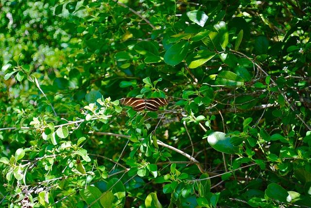 Zebra Longwing Butterfly, Marathon, Florida Keys