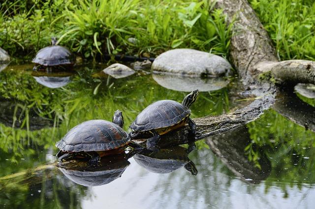 Florida, Rotbauch, Eared, Tortoise Shell, Sun, Relax