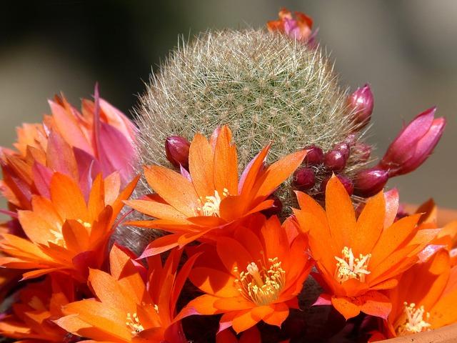 Cactus, Florir, Cactus Flower
