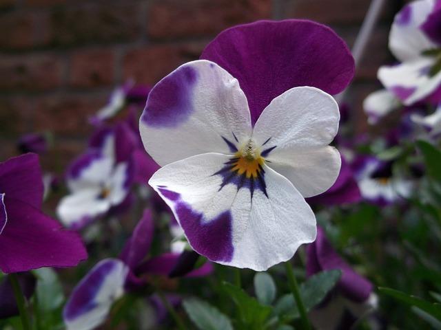 400–500, Violet, Violaceae, Flower