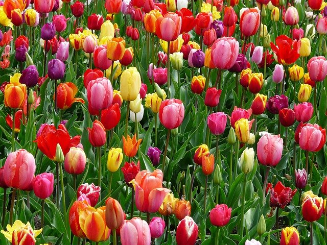 Tulips, Flowers, Flower Abundance, Bed, Colorful, Color