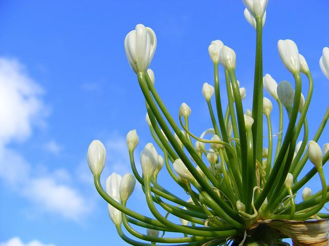 Flower, Agapanthus Flower, White Agapanthus Flower