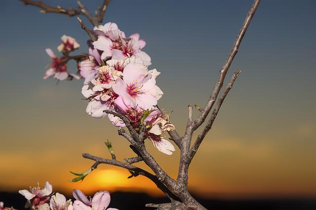 Almond Blossom, Flowers, Almond Tree, Flower, White