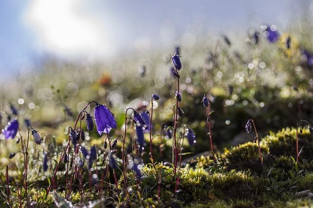 Bellflower, Alps, Meadow, Flower, Alpine Flowers