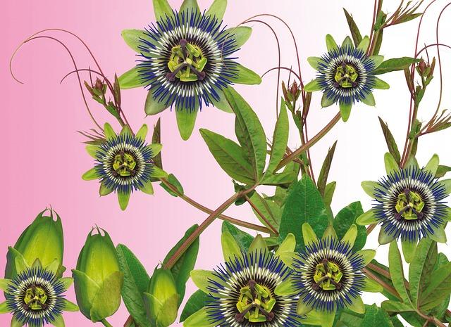 Passionflower, Flower, Amalgam