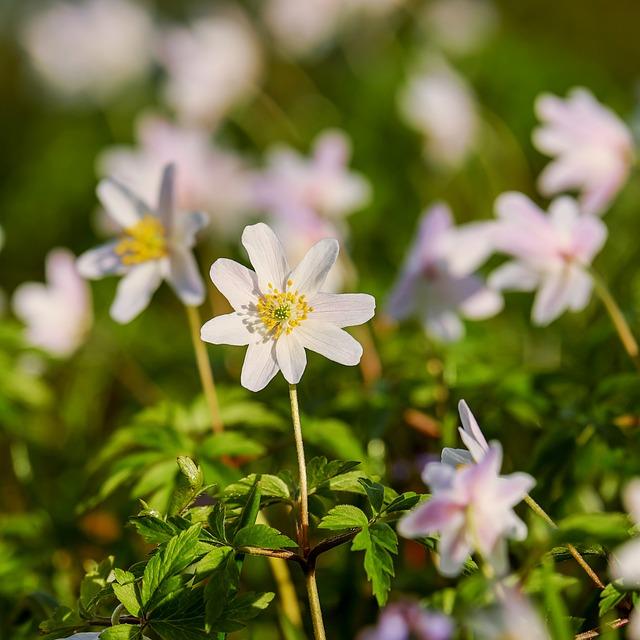 Wood Anemone, Anemone, Hahnenfußgewächs, Flower