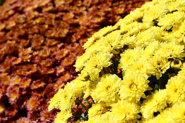 Crizantema, Flower, Autumn, Yellow Red, Bush, Garden
