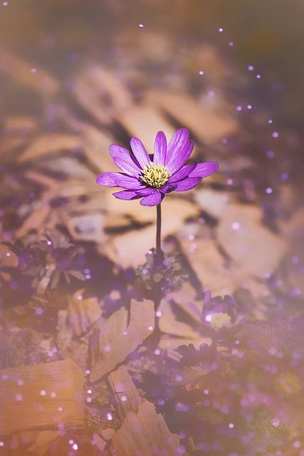 Balkan Anemone, Anemone, Close Up, Flower, Blossom