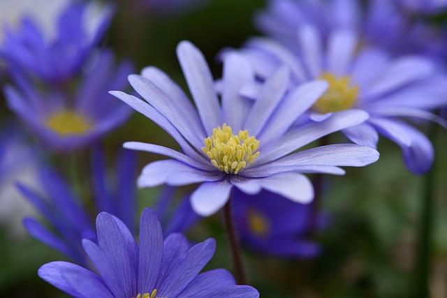 Balkan Anemone, Blue, Blue Flower, Flower, Flowers