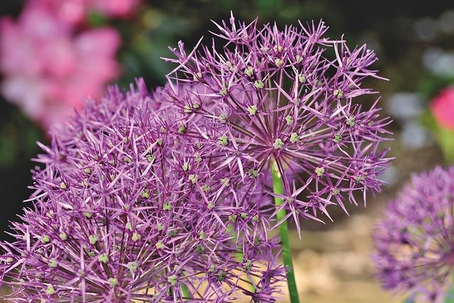 Ornamental Onion, Allium, Flower Ball, Leek Greenhouse