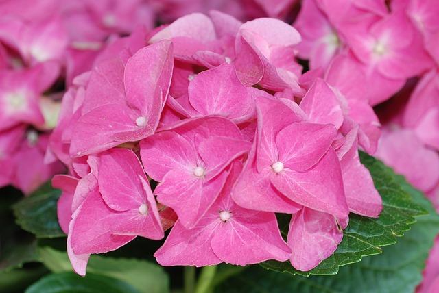 Plant, Hydrangea, Flower Ball