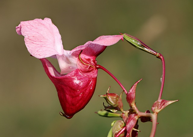 Impatiens Glandulifera, Balsam, Flower, The Unusually