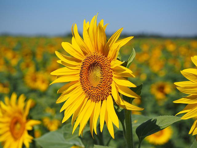 Sun Flower, Inflorescence, Flower Basket, Flower