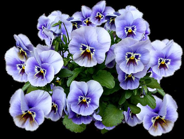 Pansy, Spring, Blossom, Bloom, Flower, Blue, Flower Bed