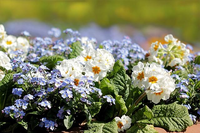 Primrose, Forget, Flower, Flower Bed, Spring