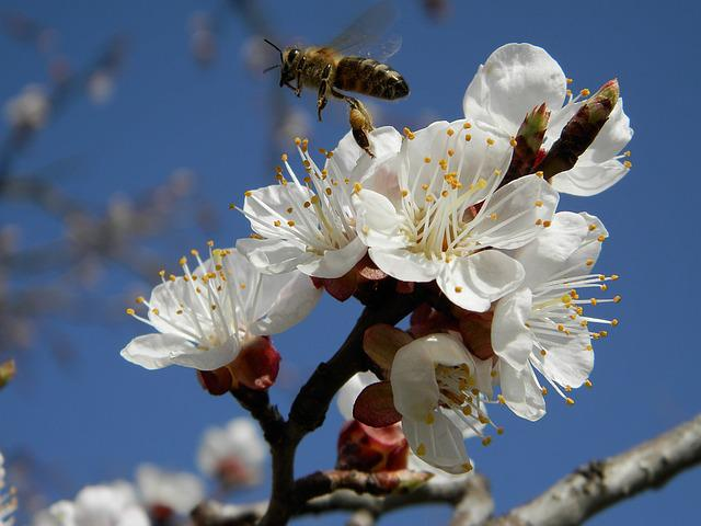 Flower, Apricot, Bee