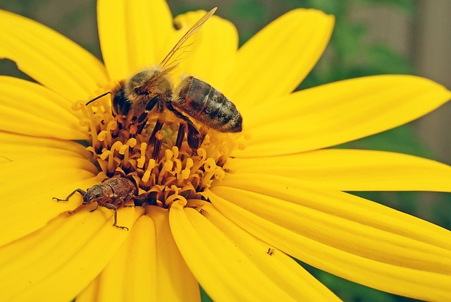 Bee, Insect, Pollen, Beetle, Flower