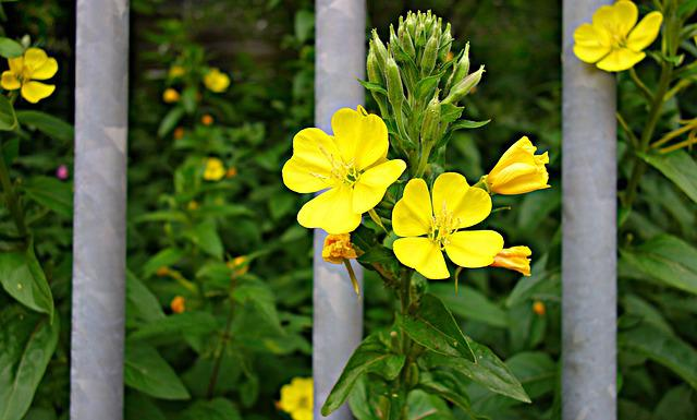Flower, Plant, Yellow Flower, Bars, Flower Behind Bars