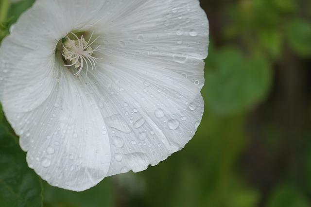 Flower, Bindweed, Raindrops, White Flower, Flora