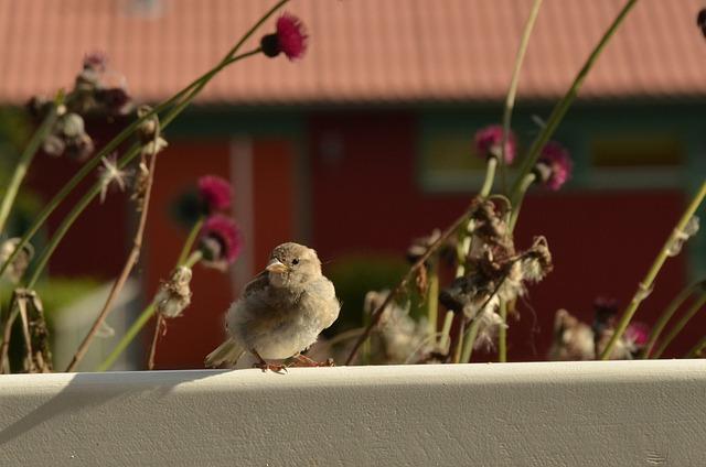 Homester, Bird, Fence, Flower, Flora, Musparrow, Mus
