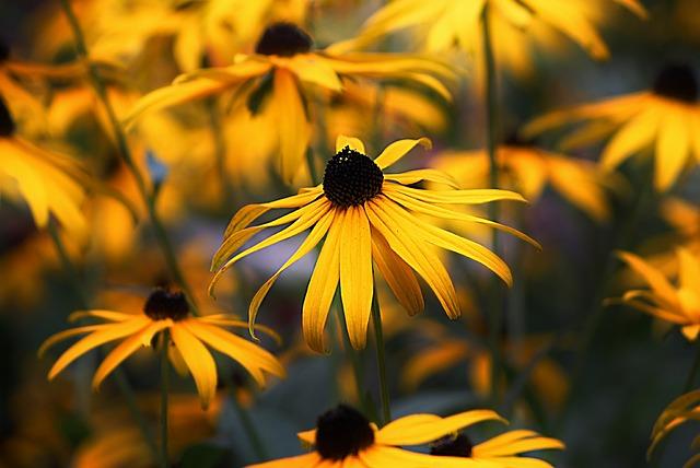 Coneflower, Flower, Black Eyed Susan, Rudbeckia, Nature