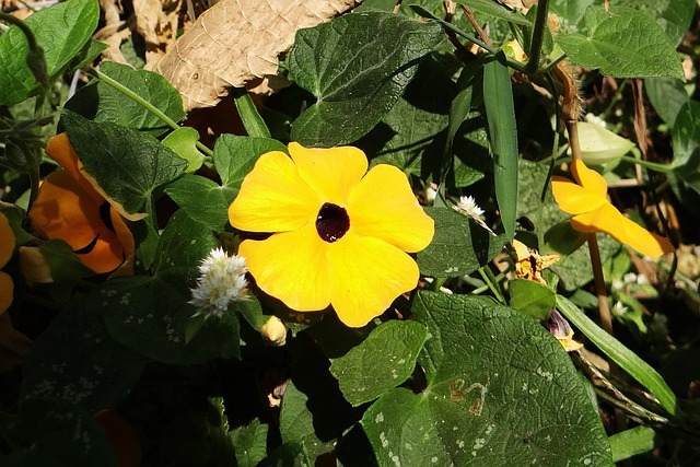 Black-eyed Susan Vine, Thunbergia Alata, Flower, Gold