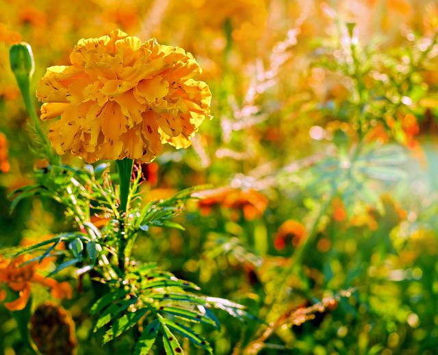 Marigold, Flower, Asteraceae, Plant, Blossom, Bloom