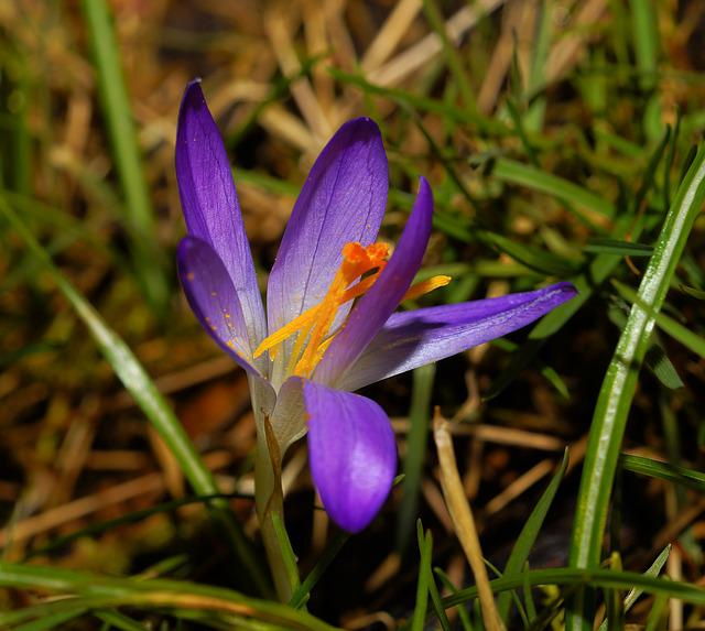 Flower, Blossom, Bloom, Crocus, Early Spring