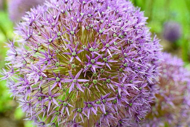 Blossom, Bloom, Ornamental Onion, Flower, Allium