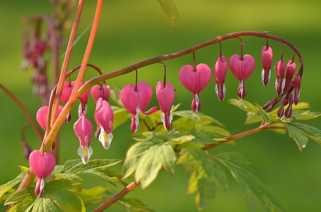 Bleeding Heart, Flower, Plant, Blossom, Bloom, Nature