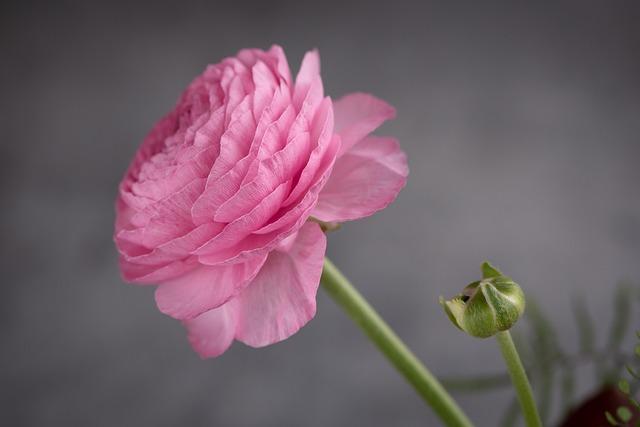 Ranunculus, Flower, Blossom, Bloom, Pink, Spring Flower