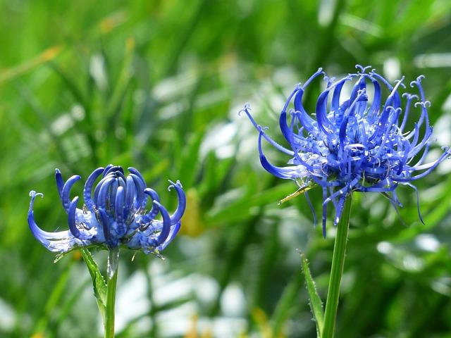 Spherical Devil's Claw, Flower, Blossom, Bloom, Blue