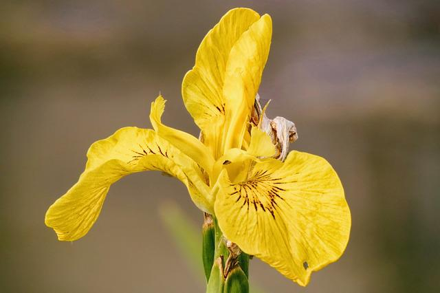 Lily, Yellow, Iris, Bloom, Garden, Flower, Blossom