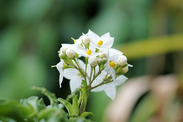 Jasmine-flowered Nightshade, Flower, Blossom, Bloom