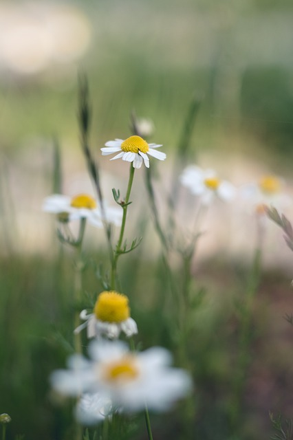 Flower, Chamomile, Plant, Meadow, Flora, Bloom, Nature