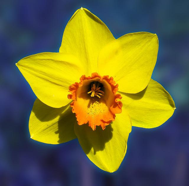 Flower, Narcissus, Blossom, Bloom, Yellow, Spring