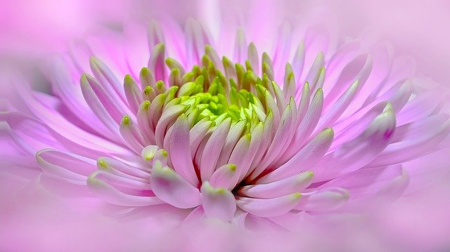 Dahlia, Pink, Close, Pano, Blossom, Bloom, Flower