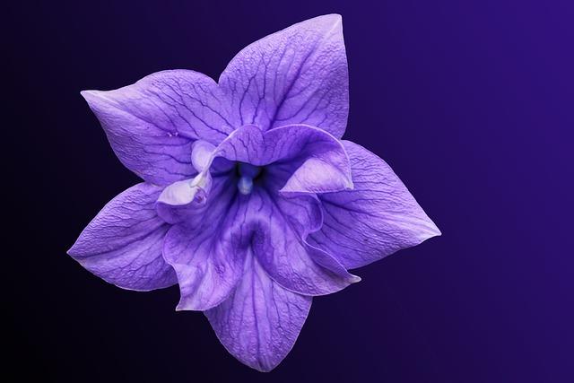 Flower, Blossom, Bloom, Bellflower, Pink, Purple