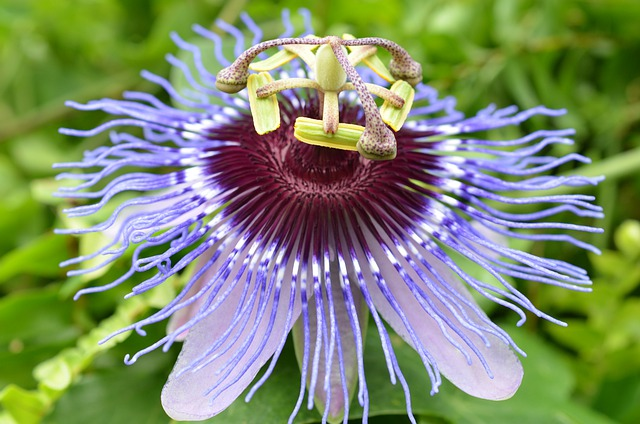 Blossom, Bloom, Passion Flower, Bloom, Flower, Plant