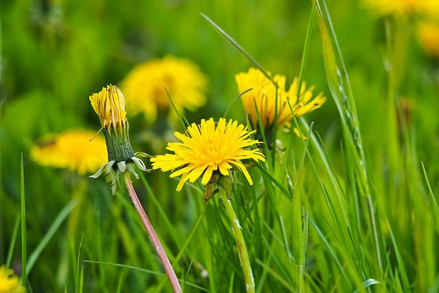 Dandelion, Flower, Blossom, Bloom, Plant, Nature