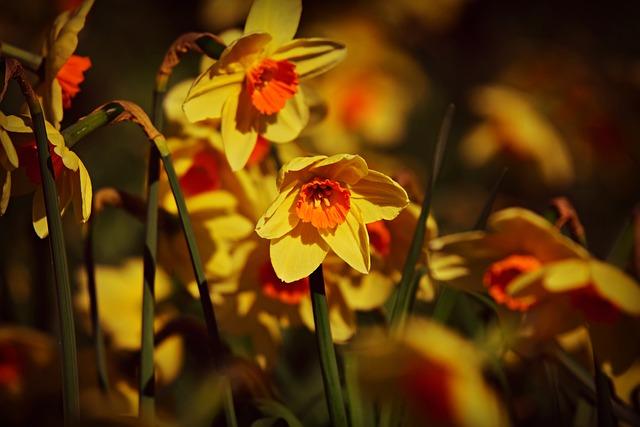 Daffodil, Flower, Bloom, Plant, Herald Of Spring, Petal